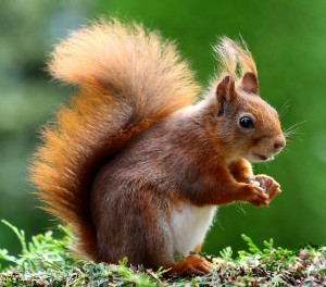 squirrel-493790_1920